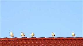 Gulls, standing, red tiled roof, flying away stock video