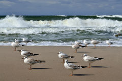 Gulls and storm Baltic sea