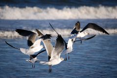 Gulls in the Surf Royalty Free Stock Photo