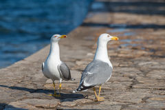 Gulls swagger. Swagger of two yellow-footed gulls walking on the shore Stock Photos