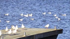 Gulls swimming and flying in the harbor stock footage