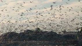 Gulls in their thousands fly over refuse tip Engalnd. Gulls in tens of thousands scavenge on landfill  tip England stock footage