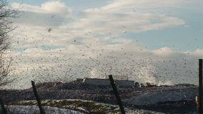Gulls in their thousands fly over refuse tip in winter Engalnd. Gulls in tens of thousands scavenge on landfill  tip England wintertime stock video