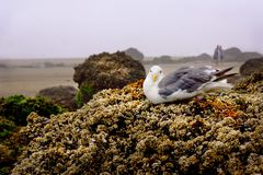 Sea gull bird tide pool rock beach. Gulls are typically medium to large birds, usually grey or white, often with black markings on the head or wings. They royalty free stock photos