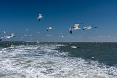 Gulls in Wake of Ferry Stock Image