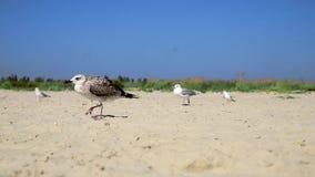 Gulls walk along the sandy beach on the Black Sea coast stock video