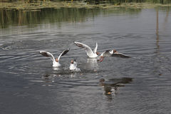 Gulls on the water and above the water. Royalty Free Stock Images
