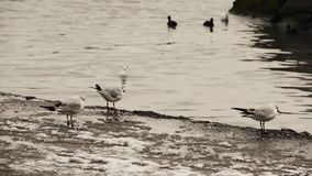 Gulls on water's edge in winter stock video