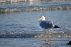 Gulls in winter Royalty Free Stock Photography