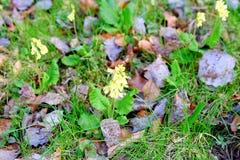 Gullviva bland stupade leves primrose för lawnsprimula för gemensamma fält scandinavia veris Mjuk DOF Royaltyfri Bild