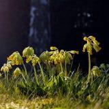 Gullvivan blommar i vår royaltyfri fotografi