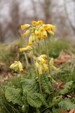 Gullvivaprimula Veris som växer på ängslut upp det stående formatet för bild arkivfoton