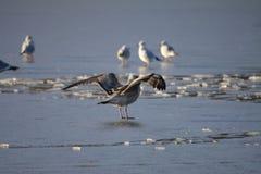 Gullwing Stockfotos