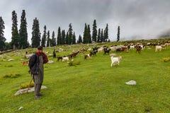 GULMARG, CACHEMIRE, INDE - 9 AOÛT 2018 : Shepard avec beaucoup de chèvres photos libres de droits