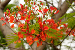 Gulmohar Royalty Free Stock Photo