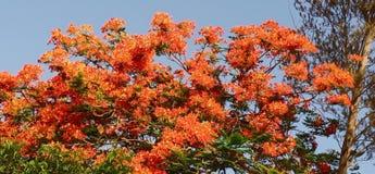 gulmohar blomma royaltyfria bilder