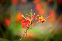 Gulmohar flower Stock Image