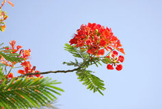 Gulmohar flowers on blue sky Royalty Free Stock Photo