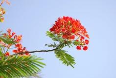 Gulmohar Flowers On Blue Sky Royalty Free Stock Photo