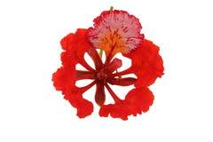 Gulmohar kwiat w białym tle. obraz royalty free