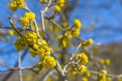 Gulna blommig skogskornell med blå himmel i bakgrunden royaltyfria bilder