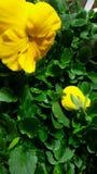 Gulna blommor arkivbilder