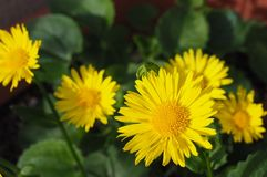 Gulna blommor Royaltyfri Foto
