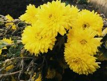 Gulna blommor royaltyfria foton