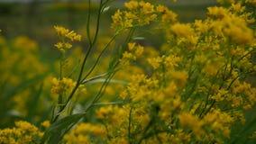 Gulna blommor arkivfilmer