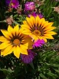 Gulna blommor Royaltyfri Bild