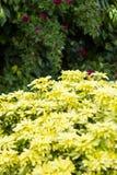 Gulna blommor Royaltyfri Fotografi
