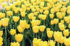 Gulna blommor Tulpan Det är arkivfoto