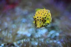 Gulna boxfishen Arkivfoto