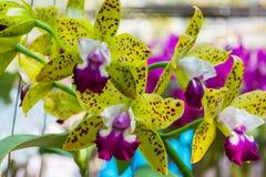 Gulna den Cattleya orchiden Arkivfoto