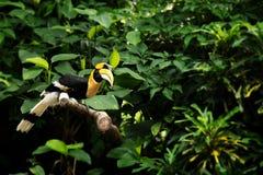 Gulna den fakturerade hornbillen, den stora hornbillen, stor indisk hornbill Royaltyfria Bilder