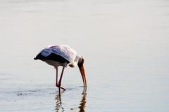 Gulna den fakturerade storken som matar, medan gå i grunt vatten Arkivfoton