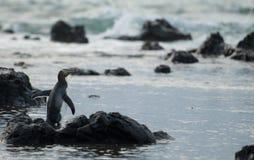 Gulna den synade pingvinet på den sydliga kuriositetfjärden seglar utmed kusten i den nyazeeländska södra ön. fotografering för bildbyråer