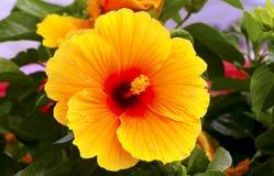 Gulna hibiskusblomman Arkivfoto