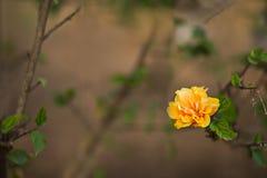 Gulna hibiskusblomman Royaltyfri Fotografi