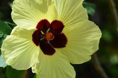 Gulna hibiskusblomman Royaltyfri Bild