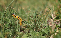 Gulna med larven för svarta fläckar upp dess gräs Arkivbilder