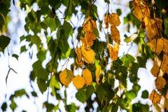 Gulna och göra grön björksidor i början av hösten Hangin royaltyfri fotografi