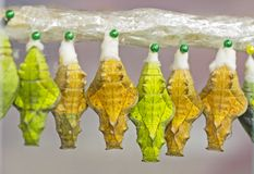 Gulna och göra grön puppor av en guld- birdwing fjärilshängning i uppkomstkammare Arkivbilder