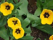 Gulna och svärta tulpan som ser solen av våren Arkivfoto