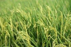 Gulna ris i fält royaltyfria foton