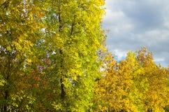 Gulna träd i höst Royaltyfria Bilder