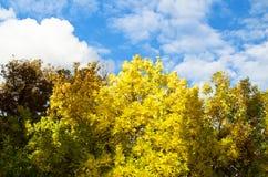 Gulna träd i höst Arkivfoton