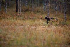 Gulo gulo. Finnish nature. Karelia. royalty free stock photos