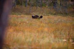 Gulo gulo. Finnish nature. Karelia. The wild nature of Europe. Beautiful picture. Rare species royalty free stock photo