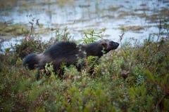 Gulo gulo. Finnish nature. Karelia. The wild nature of Europe. Beautiful picture. Rare species stock photo